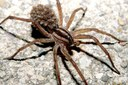 Wolf Spider Carrying Babies