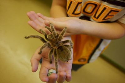 A gentle Chilean Rose tarantula hangs out in a visitor's hand.